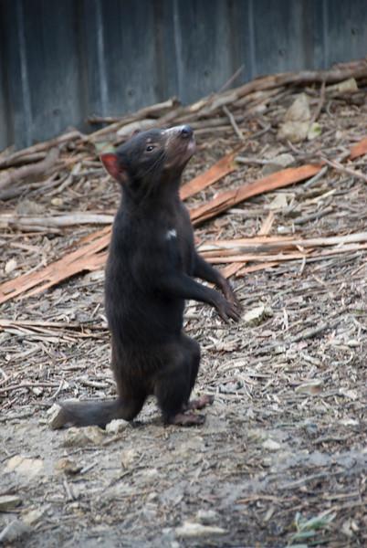 Tasmanian Devil 4 - Tasmania, Australia