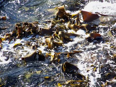 Kelp near The Blowhole, Eaglehawk Neck