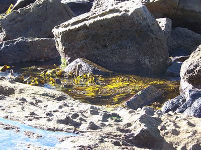 shoreline with kelp, Eaglehawk Neck