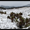 Pandani's in the snow<br /> Cradle Mountain National Park<br /> <br /> Along the start of the overland trail , these pandani refused to be covered in snow.<br /> <br /> DM_9212