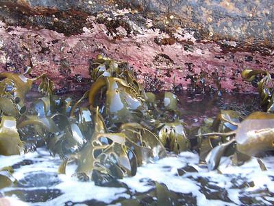 Kelp, Tasman's Arch, Tasman National Park
