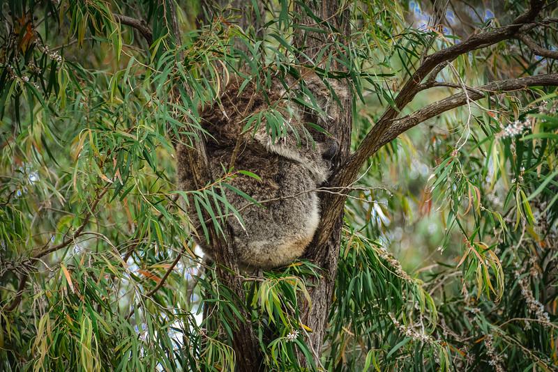 koala kennett river