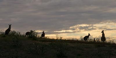 Kænguruerne er nattedyr og er først aktive fra ca. 1 time før solnedgang