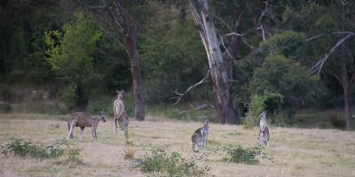 Kænguruerne er nattedyr og er først aktive 1 time før solnedgang