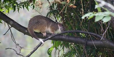 Ringtail possum i Christels blommetræ