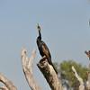 Great Cormorant<br /> <br /> Nagy kárókatona