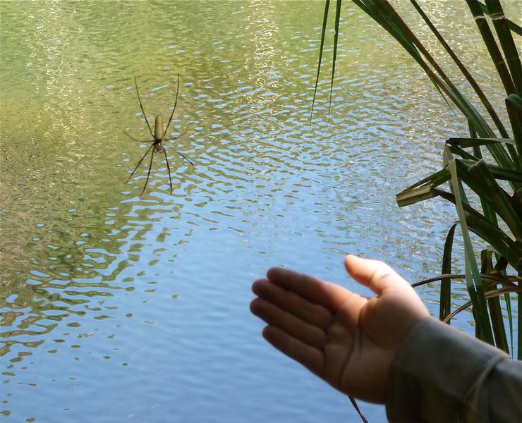 Golden orb web spider<br /> <br /> Egy kis pók