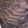 Pandanus tree trunk<br /> <br /> Csavarpálma törzse