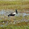 Jabiru, Black-necked Stork<br /> <br /> Feketenyakú gólya