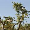 Darter - Great Egret  - Duck<br /> <br /> Kigyónyakú madár, nagy kócsag, kacsa