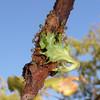 Weaver ants took my salad leaf<br /> <br /> A szövőhangyák elvették a salátámat