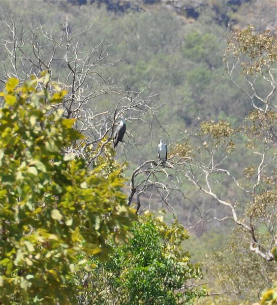 White-bellied Sea-Eagles<br /> <br /> Fehérhasú rétisas