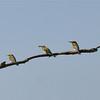 Rainbow Bee Eaters<br /> <br /> Feketefarkú gyurgyalag