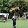 Jumping tiger<br /> <br /> Ugró tigris