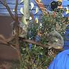 Baby koala<br /> <br /> Koala baba
