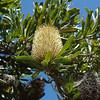 Banksia - Cape Conran