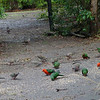 Birds feeding in the Kalimna Woods Cottages - Lakes Entrace<br /> <br /> Reggeli madáretetés Lakes Entrance-ben