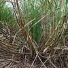 Sugarcane<br /> <br /> Cukornád