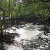 Mangroves<br /> <br /> Mangrove erdő