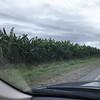 Banana plantation<br /> <br /> Banánültetvény