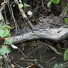 Little crocs<br /> <br /> Kicsi krokodil