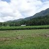 Tea plantation<br /> <br /> Tea ültetvény
