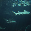Sharks - Sydney Aquarium<br /> <br /> Cápák - Sydney Akvárium