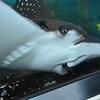 Stingray is making a grimace- Sydney Aquarium<br /> <br /> Grimaszoló rája  - Sydney Akvárium