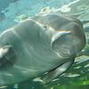 Dugong - Sydney Aquarium<br /> <br /> Dugong - Sydney Akvárium