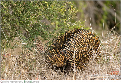 Spines and furs of Echidna