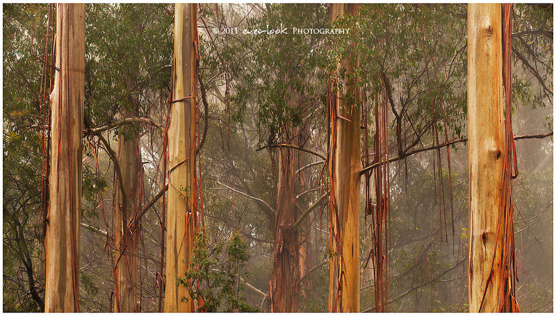 Mountain Ash<br /> Dandenong Ranges