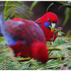 Rosellas at Alfred Nicholas Gardens<br /> Dandenong Ranges