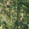Golden Silk Orb-weaver<br /> <br /> Arany selyemszövőpók