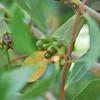 Eucalyptus sp, blooming<br /> <br /> Eukaliptusz fa virága, virágzáskor