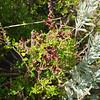 Seaberry saltbush<br /> <br /> Tengeribogyó bokor