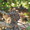 Eucalyptus sp, dried off<br /> <br /> Eukaliptusz fa virága, elvirágzott