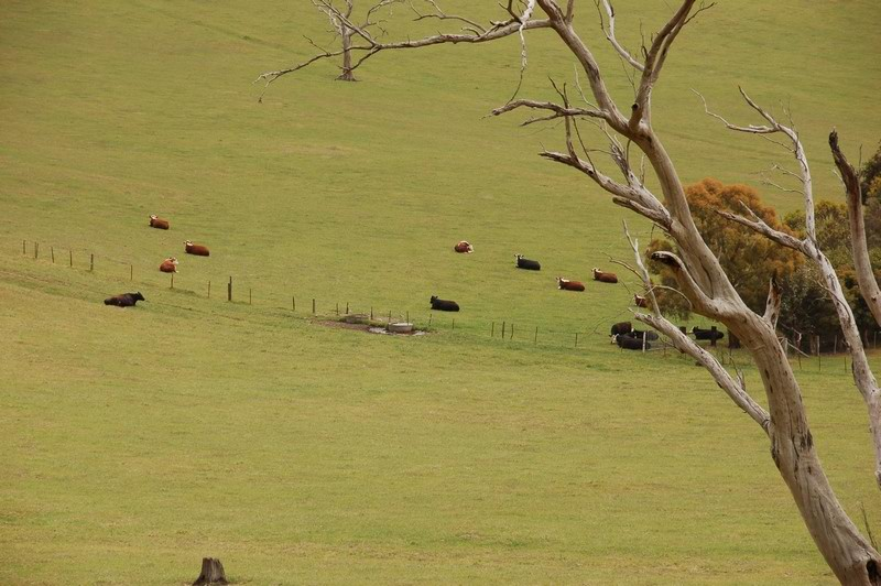 Cattle<br /> <br /> Tehenek