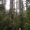 The real rainforest - Sherbrooke forest<br /> <br /> Az igazi esőerdő
