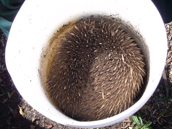Echidna<br /> <br /> Ausztrál hangyász sün