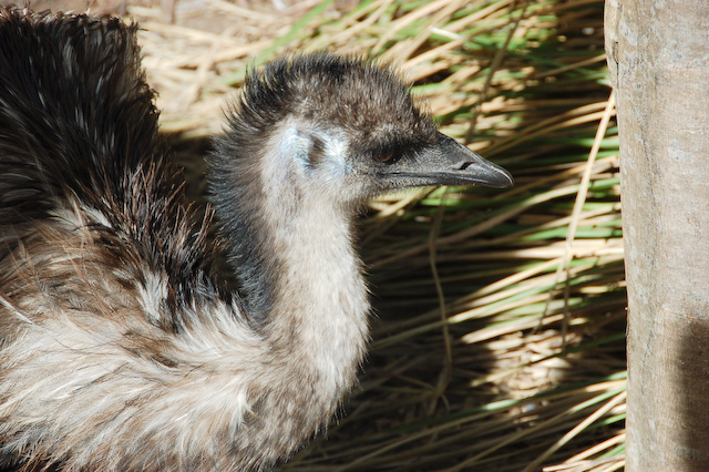 Emu - Healesville Sanctuary