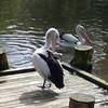 Pelican<br /> <br /> Pelikán