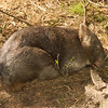 Wombat<br /> - <br />