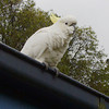 Cockatoo<br /> <br /> Kakadu