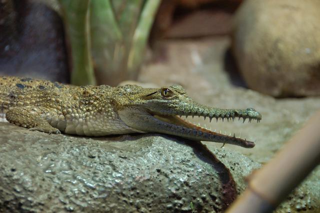 Fresh-water crocodile<br /> <br /> Édesvízi krokodil