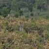 Kangaroo<br /> <br /> Kenguru