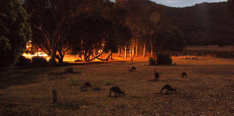Kangoroos feed at night<br /> <br /> A kenguruk esténként egészen közel jöttek legelészni