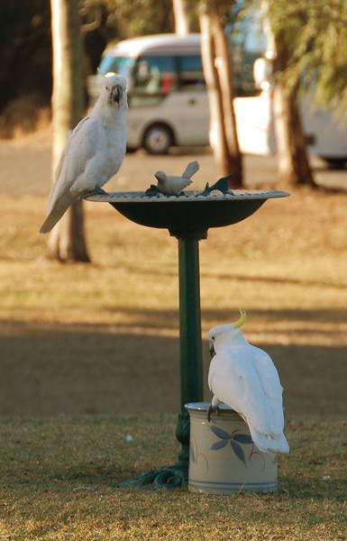 Cockatoos in the motel's garden<br /> <br /> Kakaduk a hotel kertjében
