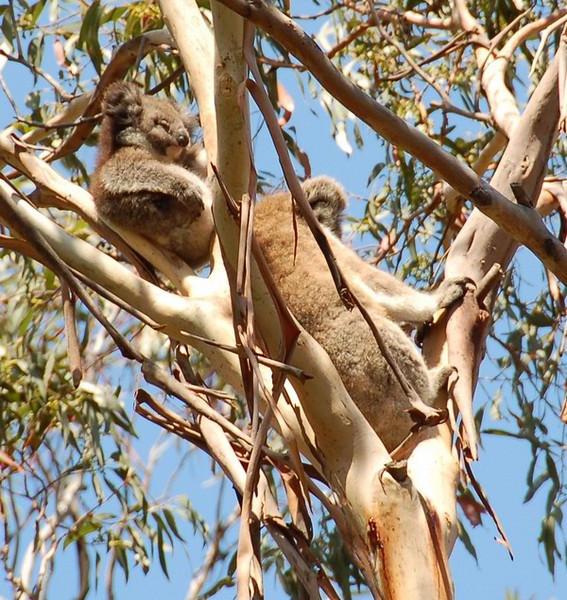 Baby koala with its mother<br /> <br /> Koalamama és bébikoala