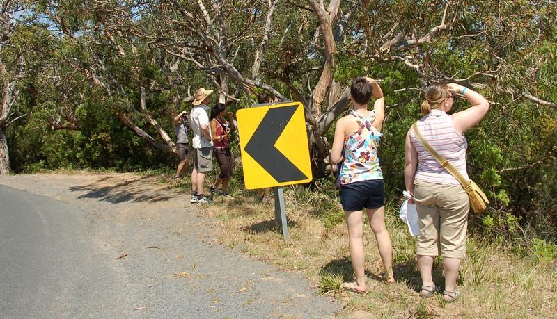 Watching koalas<br /> <br /> Koala lesen
