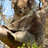 Wild koala<br /> <br /> Vad koala